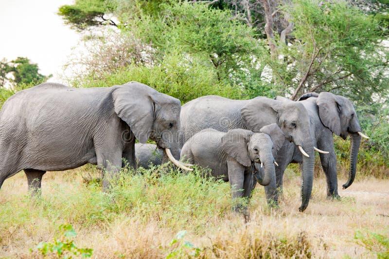 Herd of Elephants in the wild of Okavango Delta, Botswana. Young elephant looking to camera. royalty free stock photo