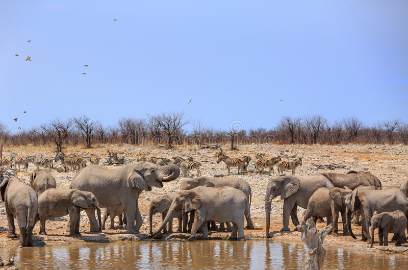 A herd of Elephants and zebras next to a waterhole royalty free stock images