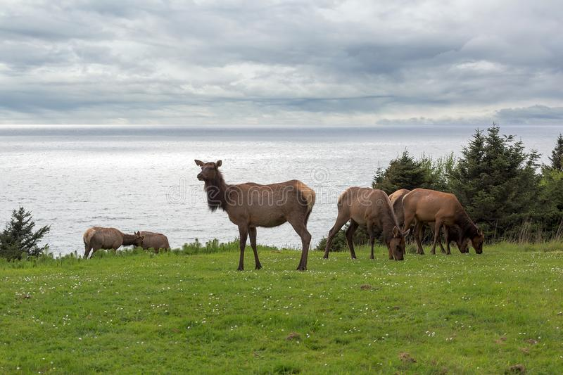 Herd of Elk at Ecola State Park spring season. Herd of Elk grazing on green pasture in Cannon Beach Ecola State Park at Oregon Coast stock images