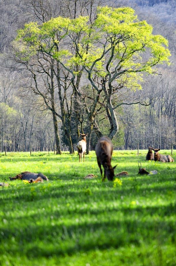 Herd of elk lounging in a field. A herd of elk lounging in a field near a green tree in the Buffalo River area of Arkansas stock photo
