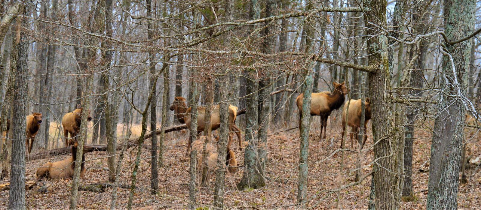 Herd of Elk Walking in a Forest royalty free stock images