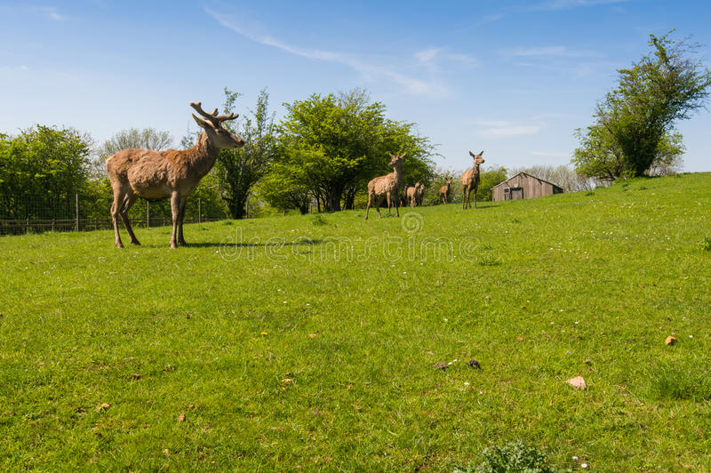 Herd of fallow deer. (Dama Dama) on the pasture in the summertime. Broadway countryside, Worcestershire, UK royalty free stock photos