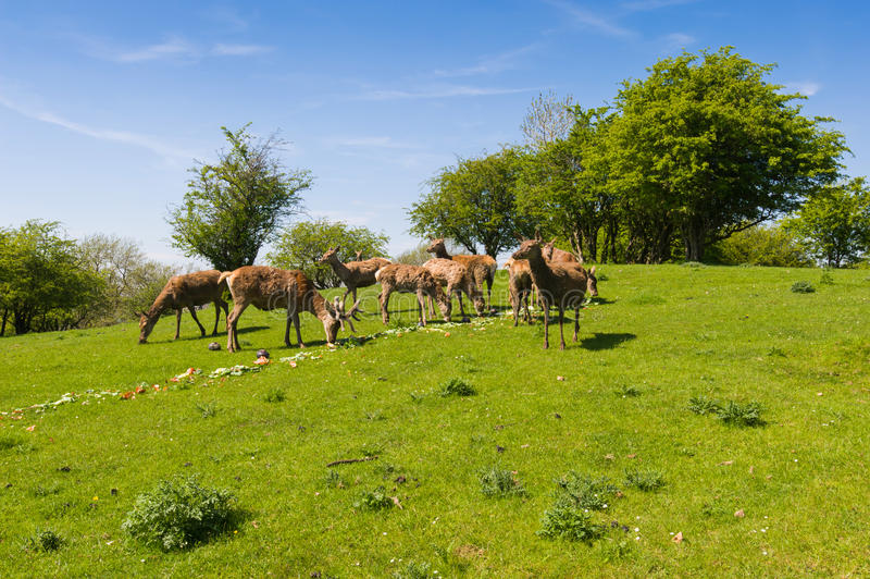 Herd of fallow deer. (Dama Dama) on the pasture in the summertime. Broadway countryside, Worcestershire, UK stock images