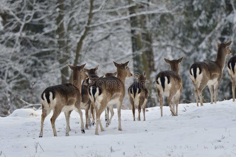 Herd of Fallow deer watching in the white snowy forest in the winter royalty free stock photo