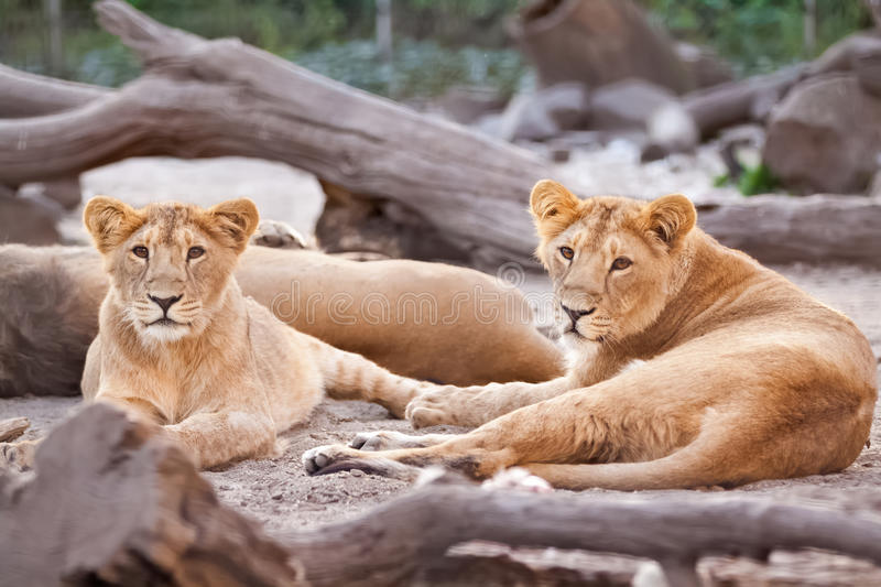 Herd of female lions resting after meal stock photos