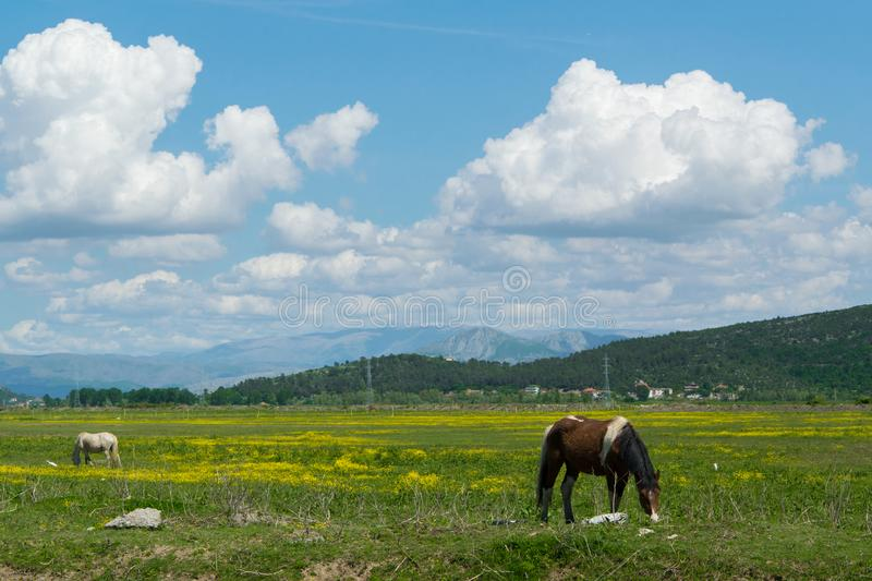 Herd of free horses grazing in the nature stock photography