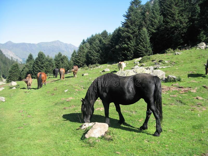 Herd of free horses in the middle of the mountains of pyrennees. Herd of free horses in the middle of the mountain and the bits of fir trees in the tops pyrennes stock images