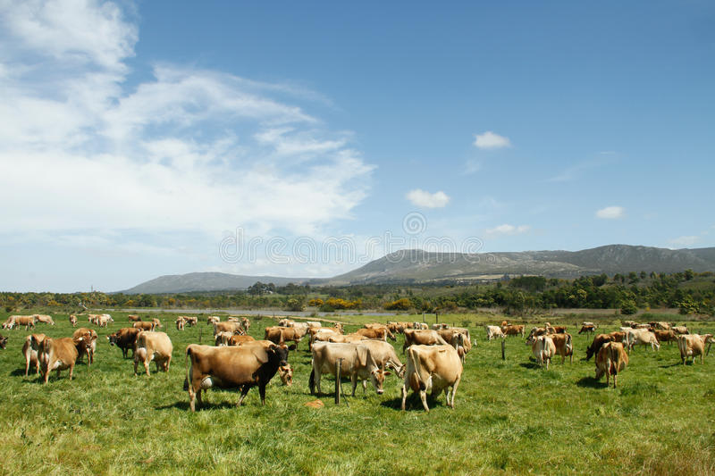 Herd of free range Jersey dairy cows on a farm stock photo