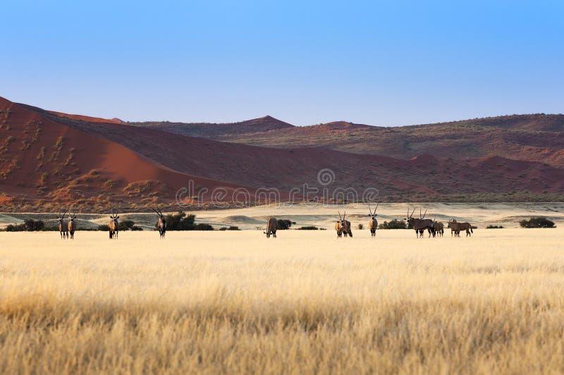 Herd of Gemsbok in Sossusvlei stock photos