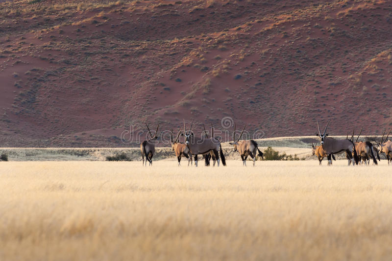 Herd of Gemsbok in Sossusvlei royalty free stock image