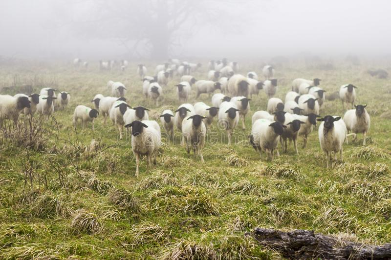 A herd german sheep outside on a field royalty free stock image