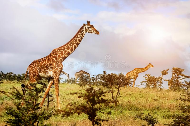 A herd of giraffes in the African savannah . Serengeti National royalty free stock photo