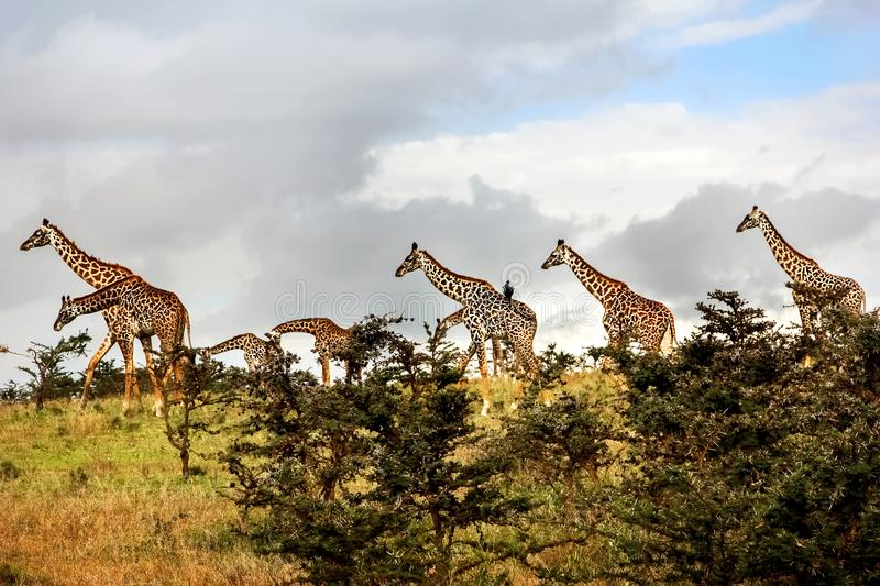 A herd of giraffes in the African savannah . Serengeti National royalty free stock image