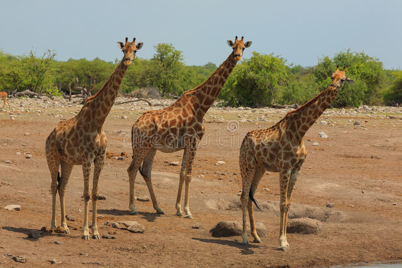 Herd of giraffes royalty free stock photography