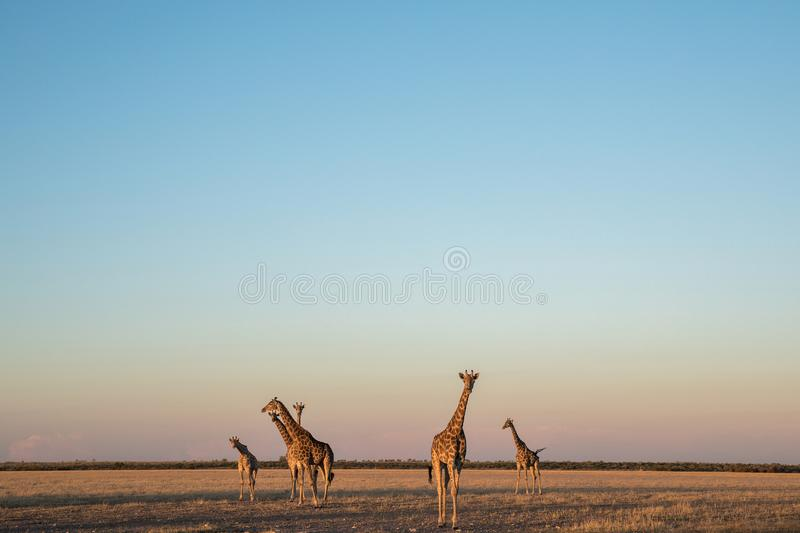 A herd of giraffes in the kalahari desert royalty free stock images