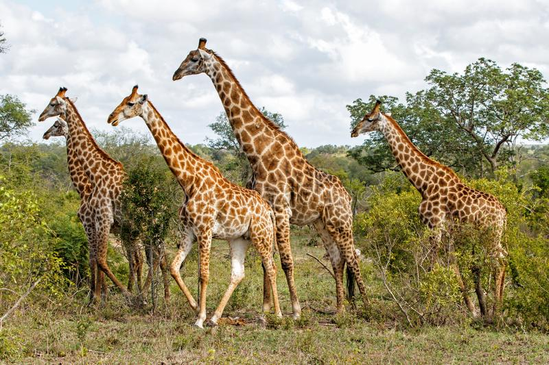 Herd of giraffes in South Africa stock images