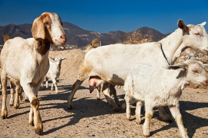 A herd of goat stock image
