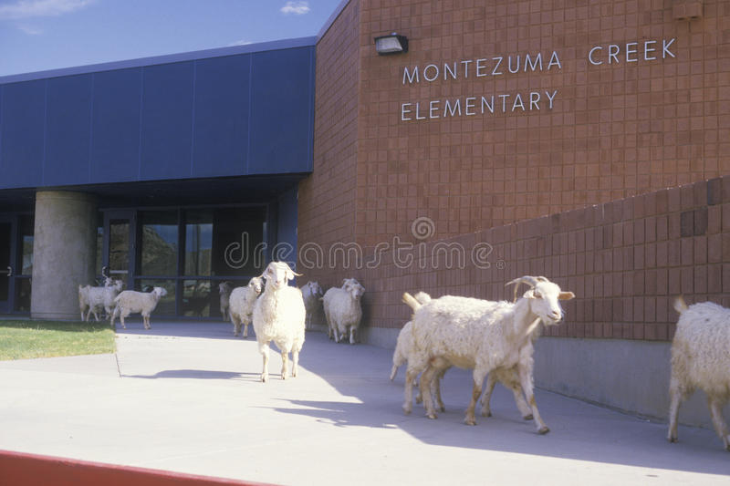 Download Herd of goats editorial photography. Image of herd, states - 26251537