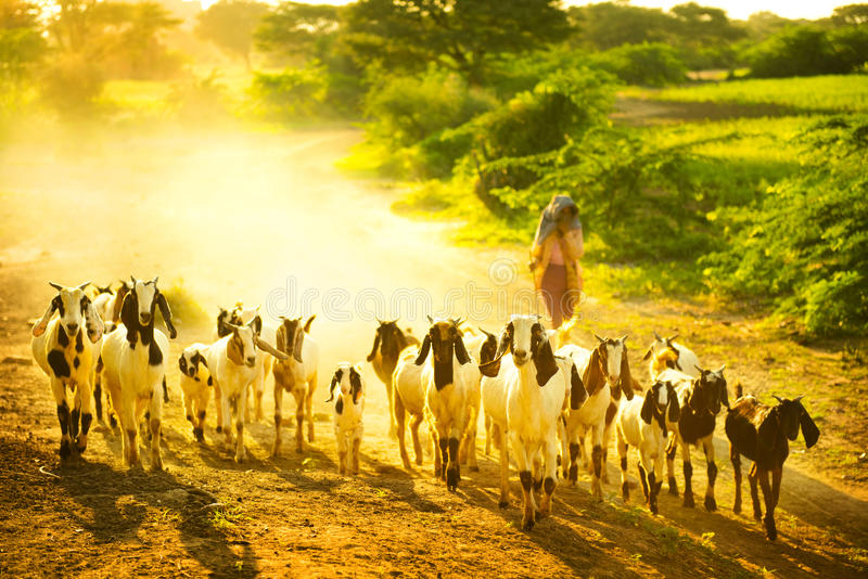Download Herd goats stock photo. Image of group, myanmar, dusty - 27449576