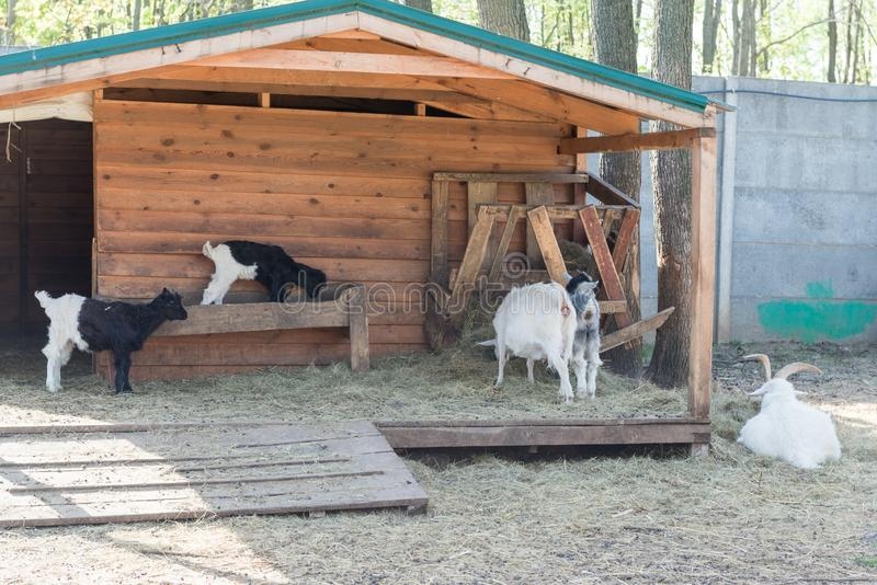 A herd of goats on the farm. royalty free stock photography