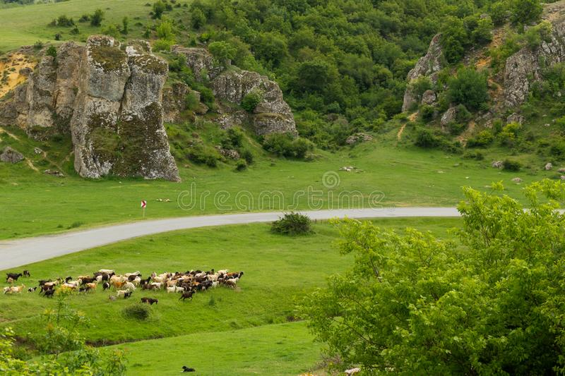 Herd of goats guarded by sheperd dog in Dobrogea Gorges area, Romania. Dog watching several goats grazing royalty free stock images