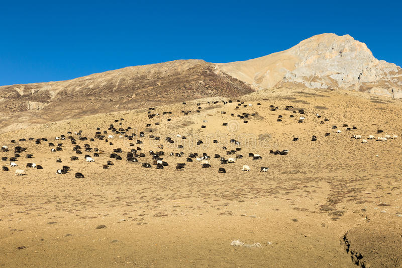 Herd of goats on the hillside stock photography