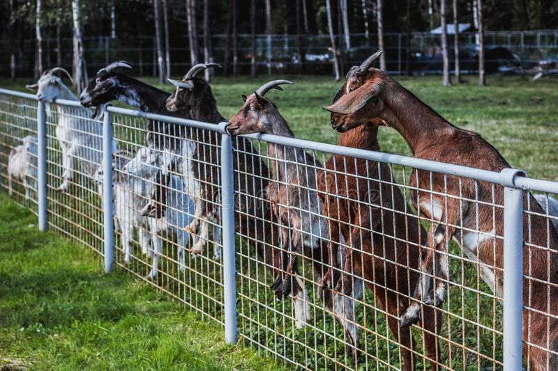 Family of cute goats leaning out of fence in yard stock image