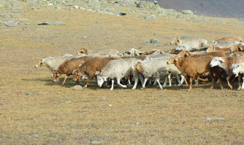 Herd of goats and sheep stock image