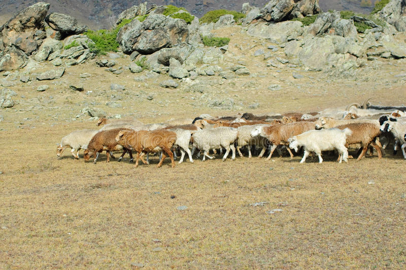 Herd of goats and sheep royalty free stock photography