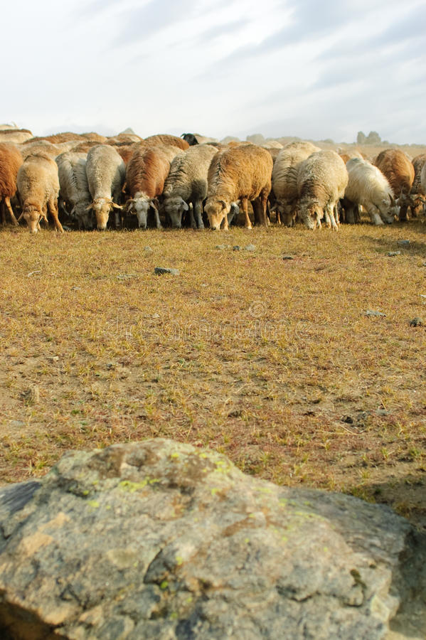 Herd of goats and sheep stock photos