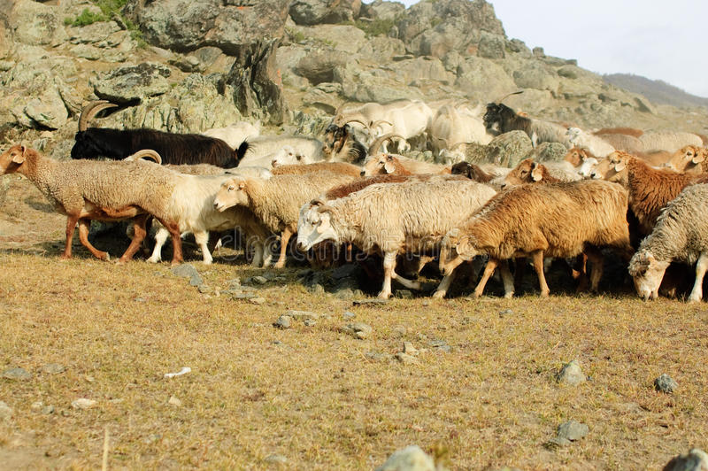 Herd of goats and sheep royalty free stock images