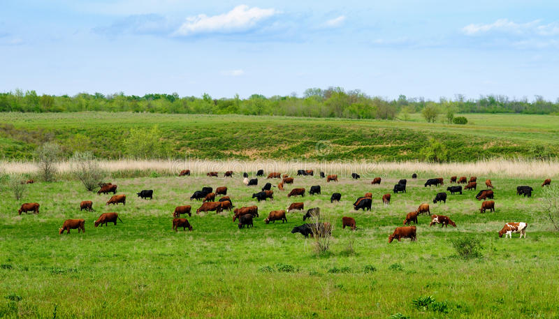 Herd Of Grazing Cows Royalty Free Stock Photography