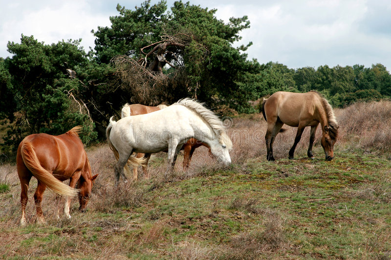 A herd of grazing horses. Icelandic brown and white horses are grazing and walking over the Veluwe heath lands, a scenic area in the Netherlands stock photo