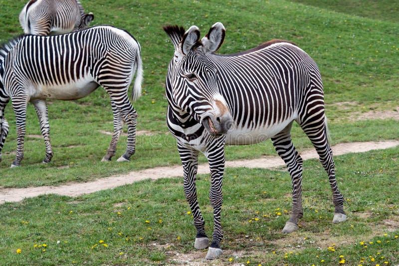 Herd of The Grevy`s zebra Equus grevyi grazing on green grass royalty free stock photo