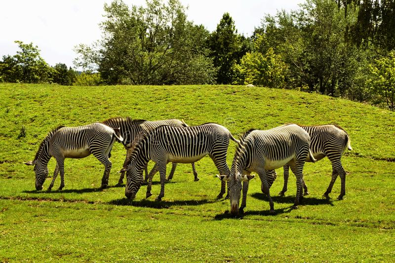 Herd of The Grevy`s zebra Equus grevyi saves green grass royalty free stock photography