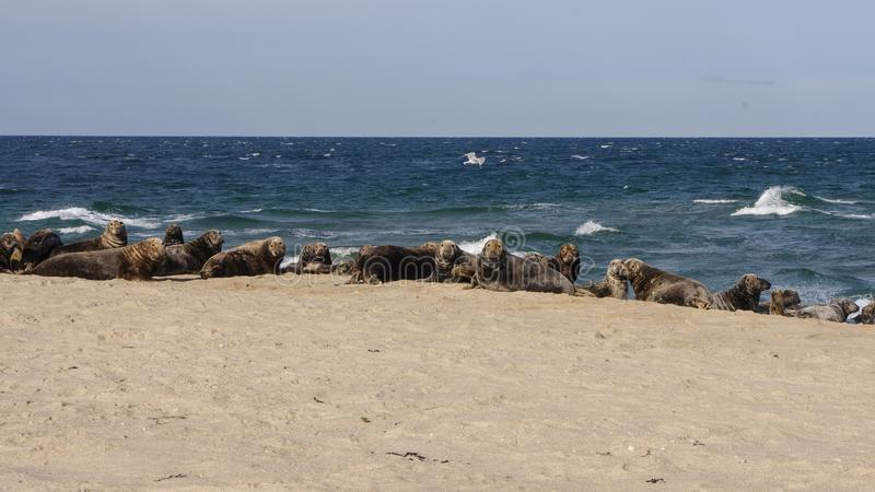 Colony of grey seals at Great Point, Nantucket National Wildlife Refuge, Nantucket, Massachusetts stock images