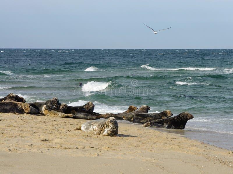 Grey seals at Great Point, Nantucket National Wildlife Refuge, Nantucket, Massachusetts stock photo