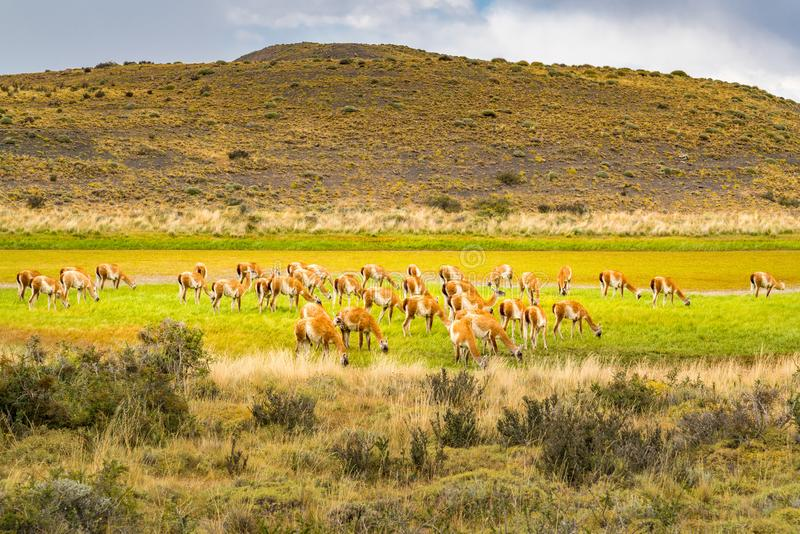 Herd of Guanaco grazing in the green pasture at Torres del Paine National Park royalty free stock image