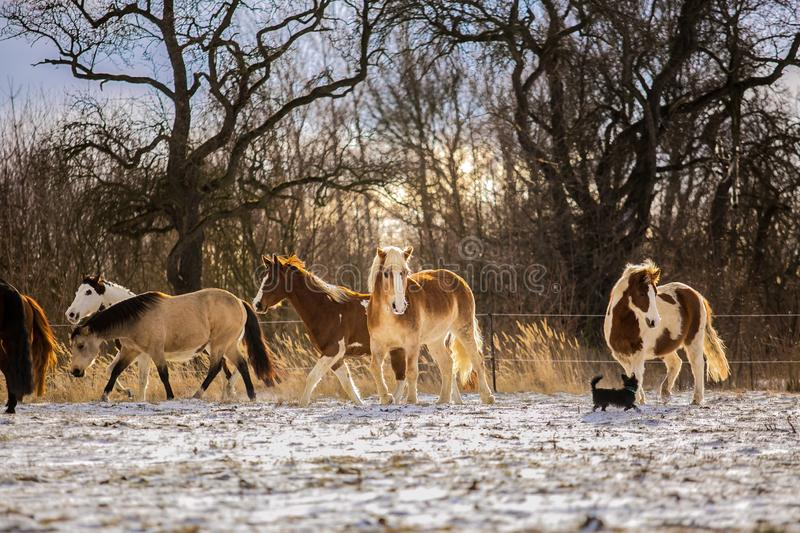 Herd of haflinger, paint and brown horses stock photo
