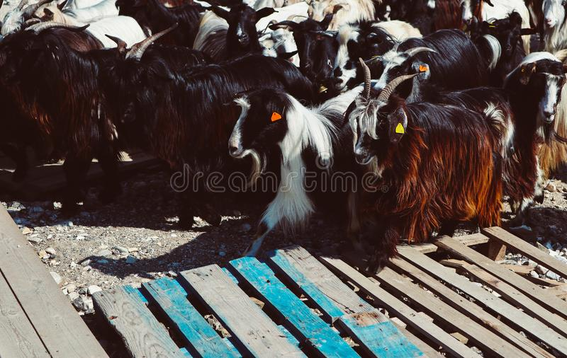 A herd of horned longhaired goats. Photo depicting a group of tr. Ee-colored goats, white, black and brown fur. Healthy food farming concept stock images