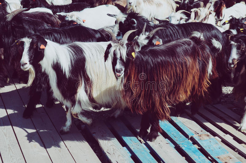 A herd of horned longhaired goats. Photo depicting a group of tr. Ee-colored goats, white, black and brown fur. Healthy food farming concept royalty free stock photos
