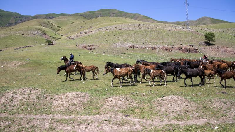 Herd of horses on the background of green hills. Travel in Kyrgyzstan.  royalty free stock images