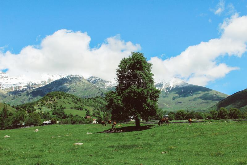 herd of horses in the caucasus mountains and a solitary tree royalty free stock photo