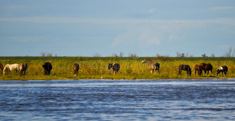 Herd of horses in the coast of Parana River. Buenos Aires, Argentina stock photos