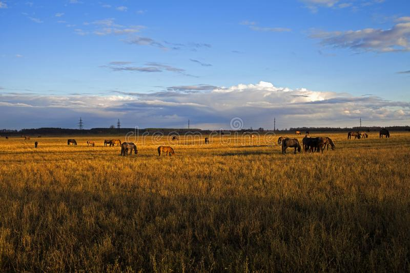 Herd of horses in the field in the fall. Russia royalty free stock photography
