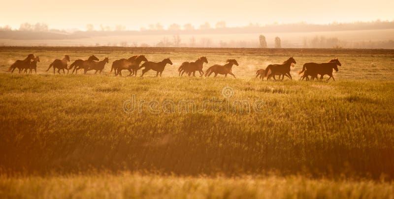 Herd of horses gallop across an open field in the sunshine. Horses walk in freedom. Mustangs stock photo