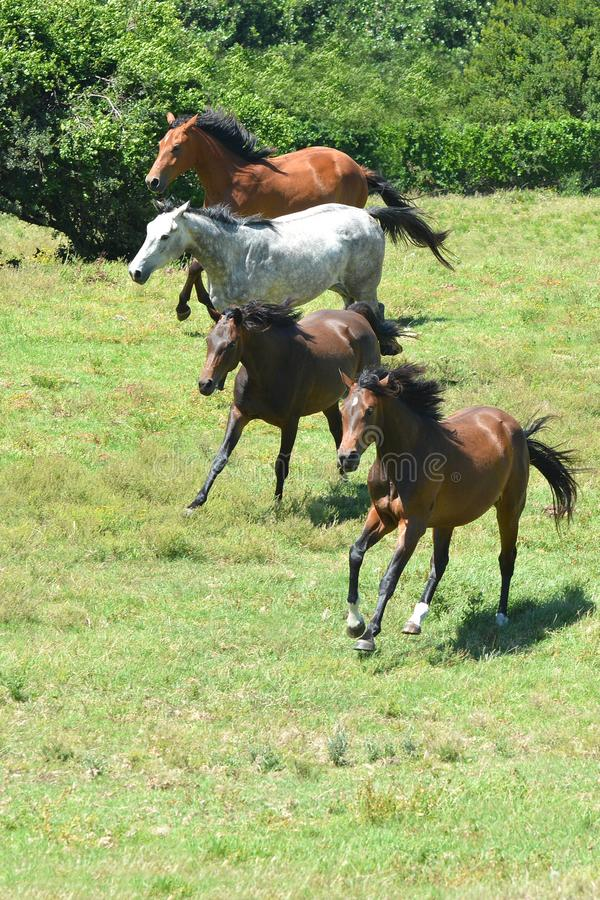 Herd of horses galloping together stock photography