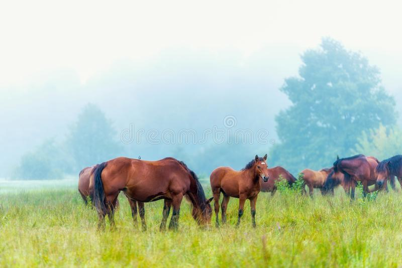 Herd of horses grazing in a meadow in the mist royalty free stock photo