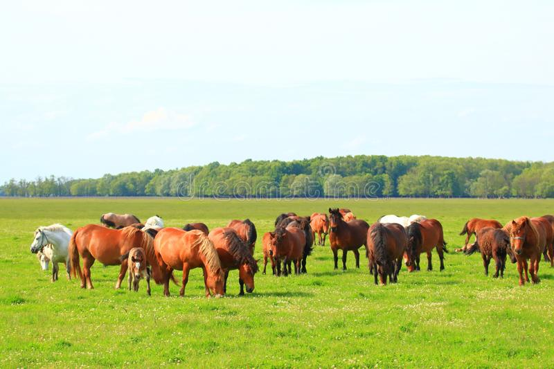 Herd of horses in pasture on meadow stock photography