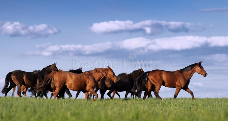 Herd of horses in the pasture rides on the beautiful background stock image